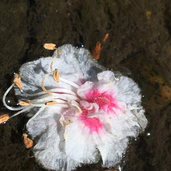 Bénédicte Coenegracht - bloem in het water