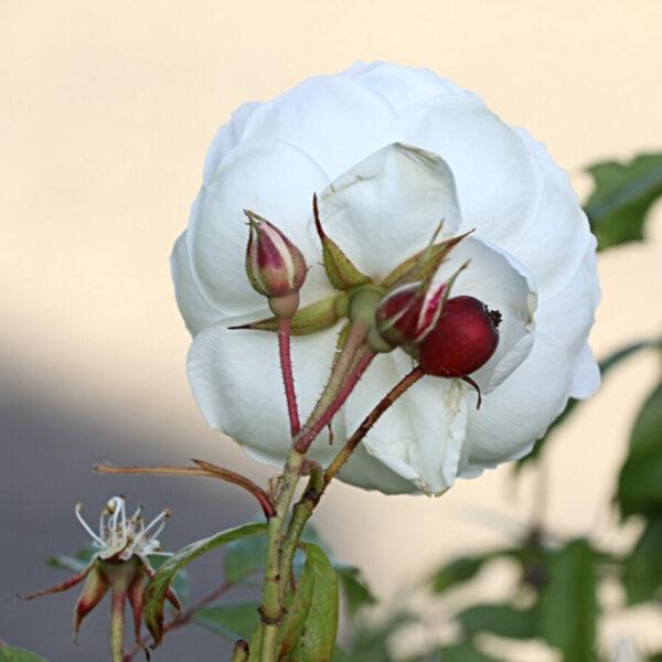I Steketee - roos