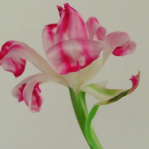 Jolanda Timmermans - Joosten - bloem